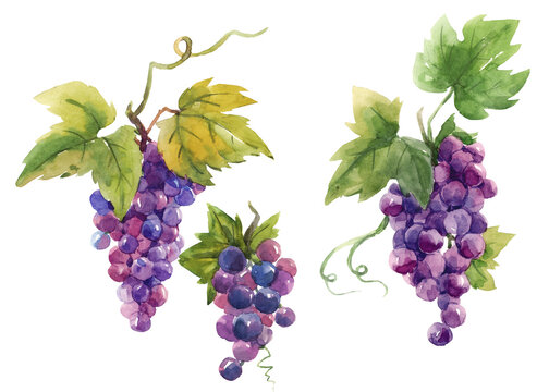 Beautiful set with hand drawn watercolor tasty summer grape fruits. Stock illustration.