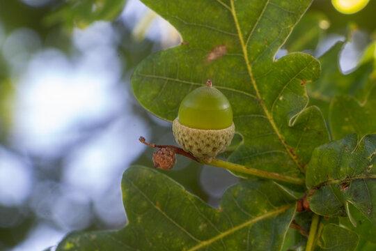 Acorn in an oak
