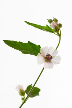 Vertical shot of marshmallow flower isolated on a background