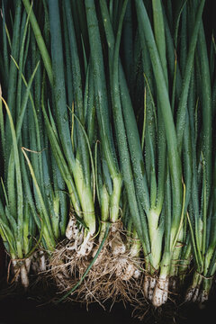 High angle close up of bunches of freshly picked spring onions.
