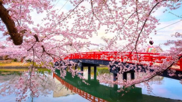 Full bloom Sakura - Cherry Blossom  at Hirosaki park, one of the most beautiful sakura spot in Tohoku region and Japan