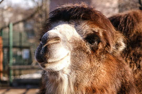 Smiling camel looks into the camera lens