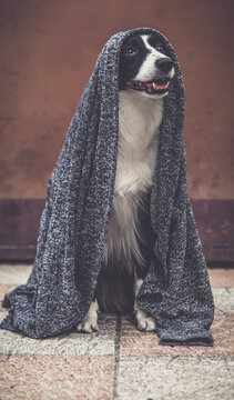 Border collie posing with her  jedi vest on
