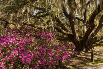Enorme Carolina Shores Oak-boom gevuld met Spaans mos naast roze azalea& 39 s in bloei.