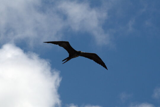 Magnificent frigatebird (Fregata magnificens) in flight in Puerto Ayora, Santa Cruz Island, Galapagos, Ecuador