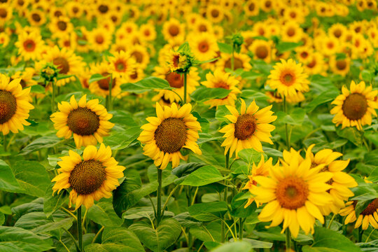 Sunflowers blooming in the field