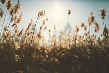 Fototapeta reeds at sunset
