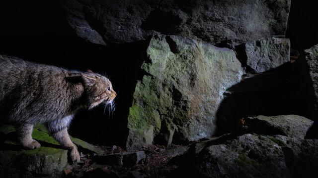 European wildcat in beautiful nature habitat. Very rare and endangered animal. Felis silvestris. Wild eurasian animals. European wildlife. Wildcats.