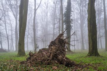 korzeń wyrwanego drzewa w mglistym lesie
