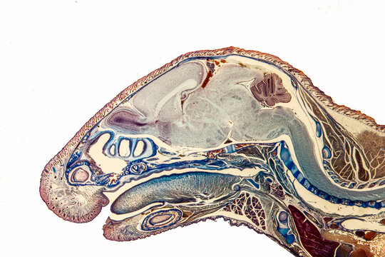 Longitudinal section of mouse head