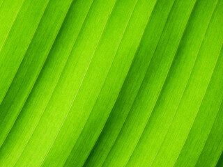 fresh green banana leaf texture