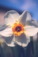 White daffodil narcissus flowers or paperwhite blossoming on spring day. Close up bunch Narcissus papyraceus on green leaves pattern background. Little white narcis bouquet grow in garden.