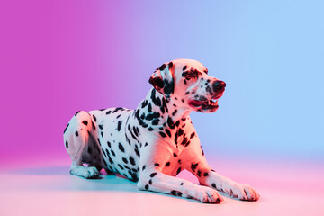 Fototapeta Portrait of Dalmatian dog isolated on gradient pink blue background in neon light.
