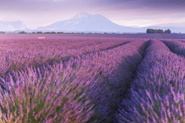 Provence, Valensole Plateau. Lavender fields in full bloom and landscape.
