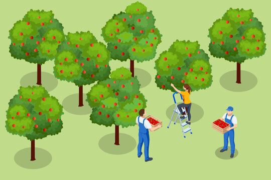 Isometric apple orchard, ripe fruits hanging on branch. Assembling the harvest of apples. Orange products. Organic Fresh Products, Premium Quality