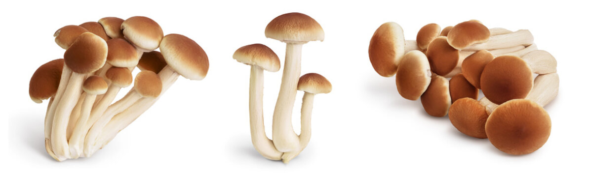 honey fungus mushrooms isolated on white background with clipping path and full depth of field. Set or collection