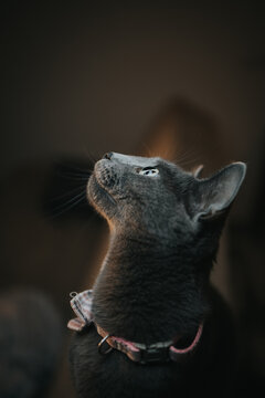 Vertical shot of a grey cat with a bow tie curiously looking around