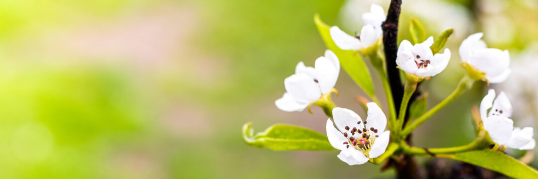 Blooming apple branch at spring garden against unfocused green grass background.