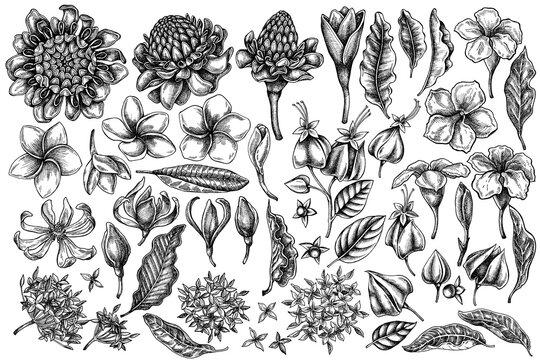 Vector set of hand drawn black and white plumeria, allamanda, clerodendrum, champak, etlingera, ixora