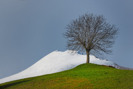 Landscape with seasonal contrasts in the mountains. A tree in green meadow with snow-covered mountain in the background