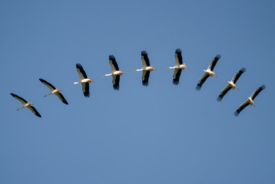sequence of a stork gliding under a blue sky