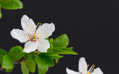 Obraz Kwiat Wiśni w rozkwicie, na czarnym tle - fototapety do salonu