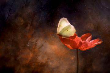 Fototapeta Motyl -Gonepteryx rhamni na Zawilcu (Anemone)  obraz