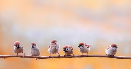 Fototapeta flock small sparrow chicks sit on a branch in a sunny garden