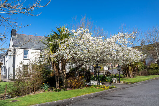 Cabbage tree, Cordyline Australis, growing next to Cherry tree in Donegal - Ireland