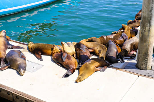 a large group of sea brown lions laying on the docks in the marina near deep green ocean water at Burton Chace Park  in Marina del Rey, California