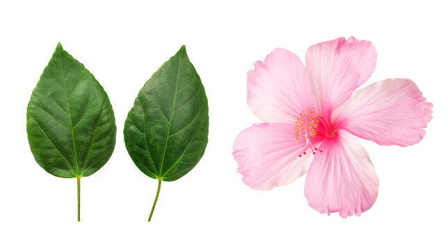 Pink Hibiscus flower and leaves on a white background.