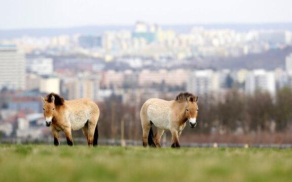 Prague zoo opens public breeding ground for wild Przewalski horses