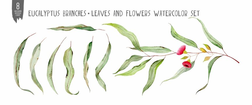 Watercolor eucalyptus set isolated on white. Flowers, leaves and branches hand drawn fresh plants. Colorfull bright summer set for design textile, wallpapers, print and banners.