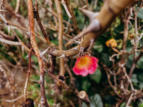 Pink flower among thicket of thorns