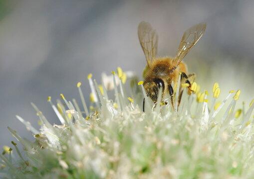 ネギ坊主に来たミツバチ