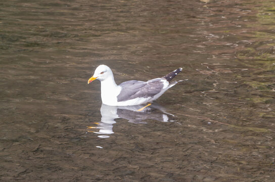 Seagull landed on a pond