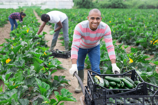 Portrait of smiling Colombian engaged in organic zucchini harvesting on farm field, pushing wheelbarrow with gathered vegetables