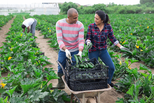 Latino farmers together harvest zucchini on field