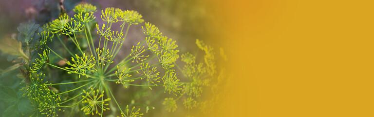 Fototapeta Fragrant growing fresh green dill umbrellas in the garden,  banner, fortune gold
