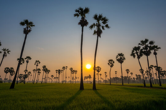Nature sunrise landscape view of Asian Palmyra palm trees (Sugar palm) and green rice field at viewpoint of Dongtan Sam Khok, Pathum Thani.
