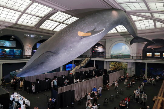 A blue whale model hangs with a band aid on its fin above a pop up vaccination site at the American Museum of Natural History in New York City