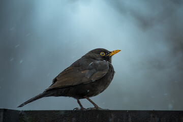 Fototapeta Ptak czeka w deszczu na wiosnę