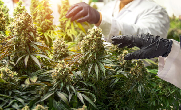 sciencetist with hygine glove harvesting cannabis flower