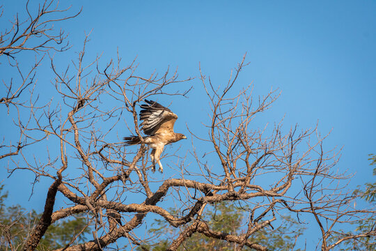 Bonelli or Bonellis eagle or Aquila fasciata with full wingspan in flight at ranthambore national park or tiger reserve rajasthan india