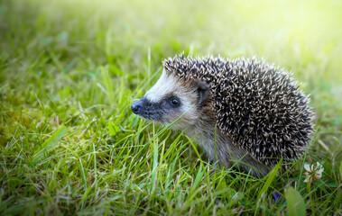 West european hedgehog on a green grass