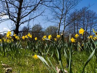 Fototapeta Wiosenne kwiaty, żonkile, tulipany i storczyki obraz
