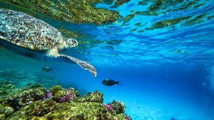 turtle swims