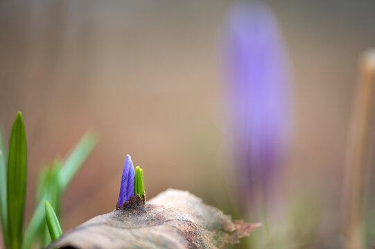 Early spring Crocus vernus flower pushing through leaf litter