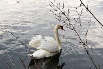 Łabędzie Na Wodzie. Ptaki Pływają W Jeziorze