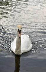 Fototapeta Łabędzie Na Wodzie. Ptaki Pływają W Jeziorze obraz